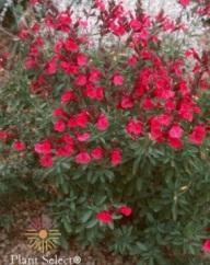 Wild Thing sage (Salvia greggii)