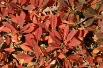 Pawnee Buttes® sand cherry (Prunus besseyi selection)