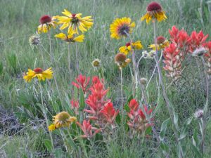 Close-up of a front-yard wildflower meadow. Photo courtesy of Susan Tweit