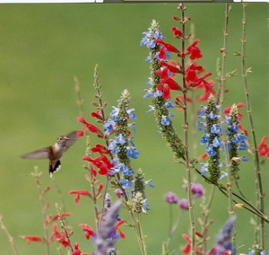 Hummingbird visits native 'Mexican Bluffs' Vermillion sage at the City of Westminster's Legacy Ridge Golf Course. Photo courtesy of Shalene Hiller.