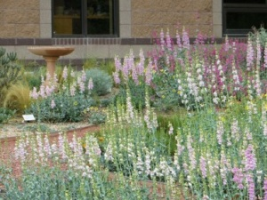 Native penstemon attract hummingbirds and butterflies to this formal wildscape. Photo courtesy SE Colorado Water Conservation District.