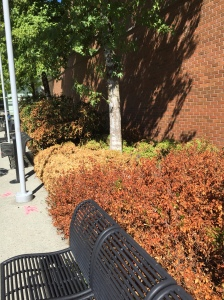 Landscaping at the Lougheed mall in Coquitlam was varying shades of brown.