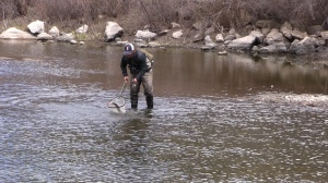 The rainbow trout population has taken off since 2011.