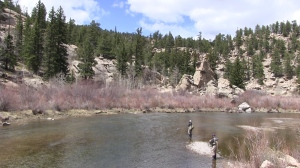 Managed flows along the South Platte River in Eleven Mile Canyon have helped rainbow trout eggs and young fish survive during spring runoff.