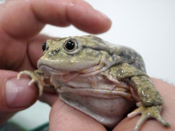 A frog of Lake Titicaca. Photo credit: Denver Zoo.