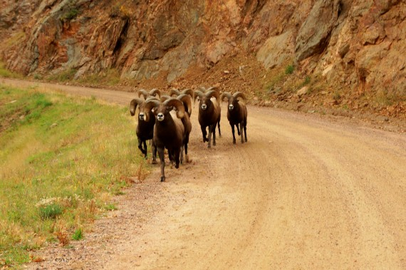 A herd of bighorn sheep on the Waterton Canyon trail.