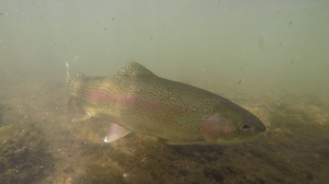 Rainbow and brown trout are healthiest in 50 to 60 degree water.