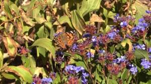 The plants in Amy Wright's yard attract a variety of butterflies, birds and bees.
