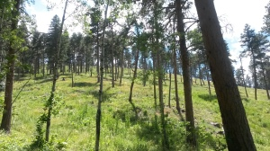 A restored and thinned forest in Jefferson County in the Upper South Platte Watershed.